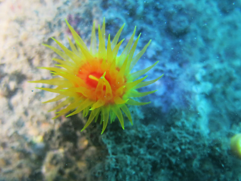 短管星珊瑚